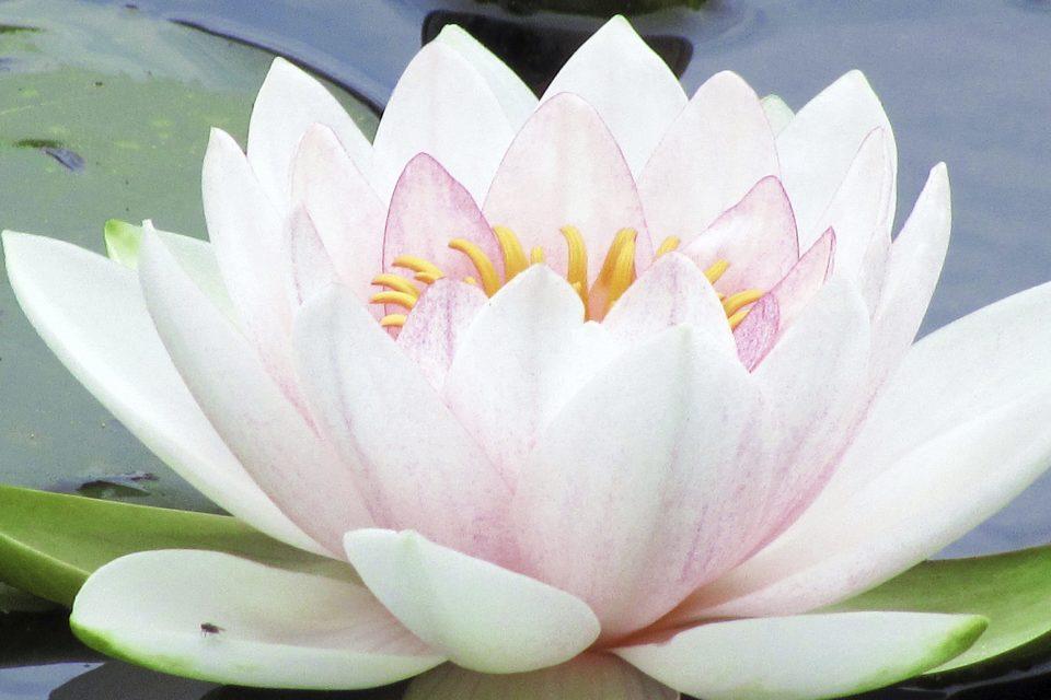 Significado De La Flor De Loto Y Sus Diversos Colores