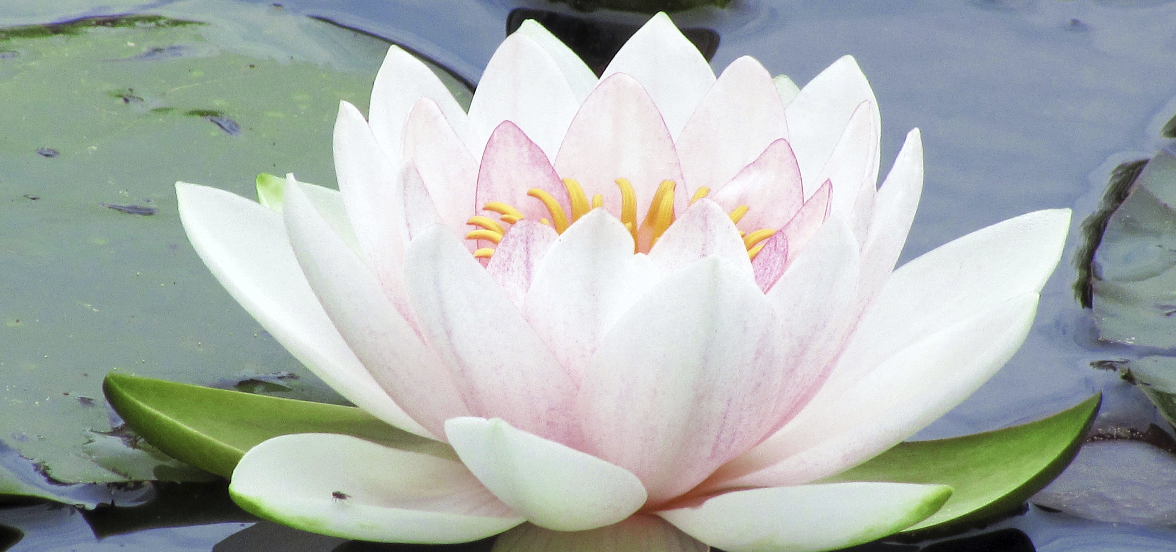 Significado de la Flor de Loto y sus diversos colores - WeMystic