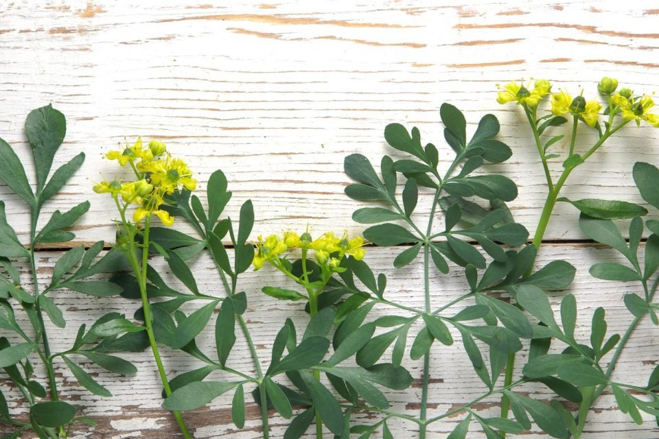 Rue One Of The Most Powerful Herbs To Remove Negative Energies