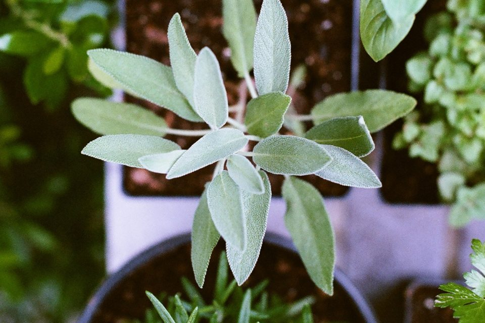Bay leaves: an ancient herb with strong powers - WeMystic